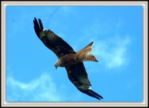 Red Kite, Dumfries and Galloway (38)
